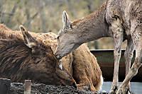 Deers03