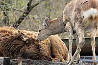 Deers04