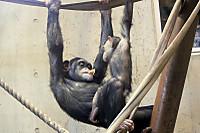 Chimpanzee36