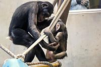 Chimpanzee37
