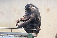 Chimpanzee38