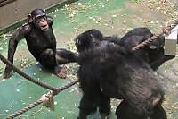 Chimpanzee39