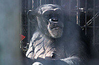 Chimpanzee40