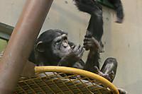Chimpanzee41