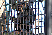 Chimpanzee42