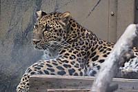 Amur_leopard02