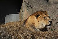 Lion_ha04
