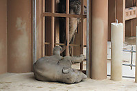 Asian_elephant18