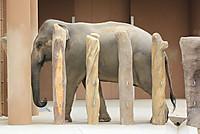Asian_elephant21