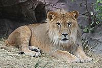 Lion_h01