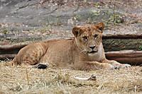 Lion_h02_2