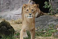 Lion_h03
