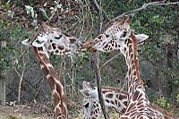 Giraffe_h10