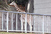 Giraffe_h11