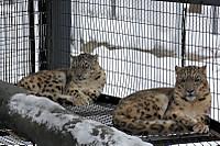 Snowleopard43