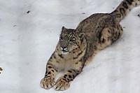 Snowleopard44