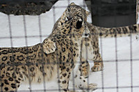 Snowleopard46