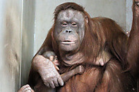 Orangutan48