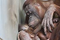Orangutan49