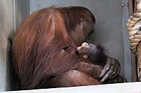 Orangutan50