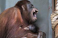 Orangutan51