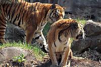 Tigers22