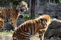 Tigers23