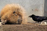 Capybara11