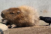 Capybara13