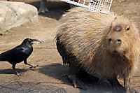 Capybara14