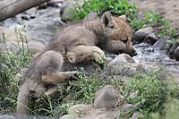 Wolf_baby03
