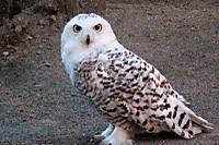 Snowy_owl15