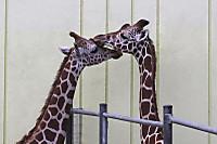 Giraffes70