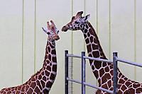 Giraffes71