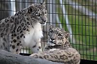 Snowleopard50