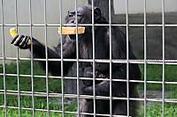 Chimpanzee_k01