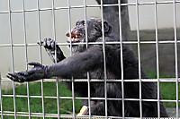 Chimpanzee_k02