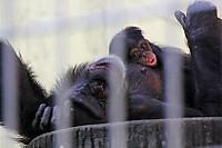 Chimpanzee_k03