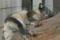 Arctic_fox02