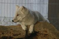 Arctic_fox04