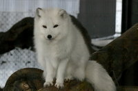 Arctic_fox08