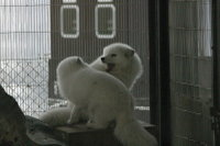 Arctic_fox11