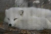 Arctic_fox13