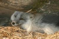 Arctic_fox15