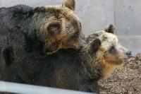 Brown_bear01