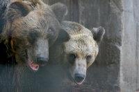 Brown_bear02