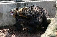 Brown_bear03