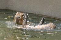 Capybara02_1