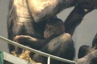 Chimpanzee_baby