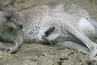 Greykangaroo01